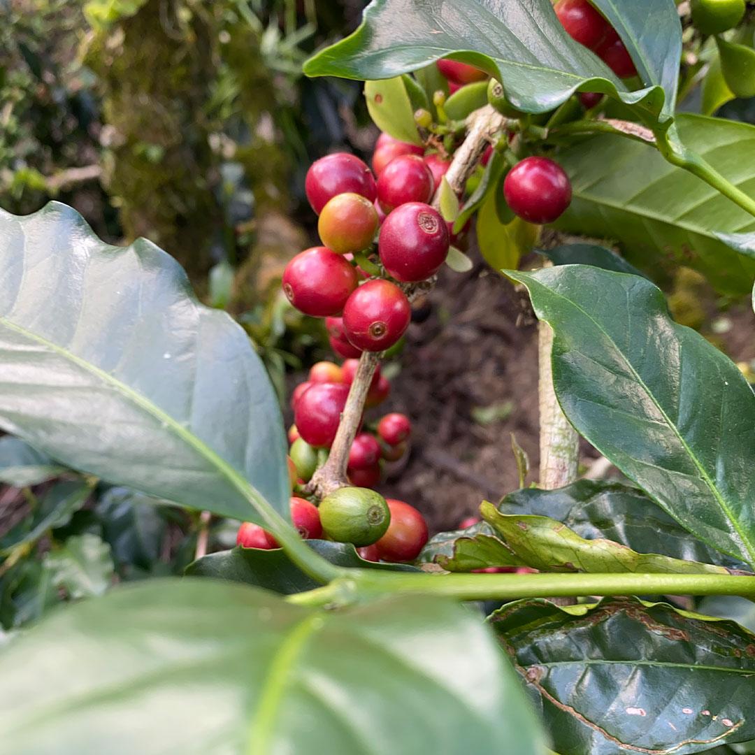 Coffee-exporter